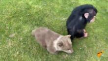 Мамалак менен достошкон шимпанзенин видеосу элди элжиретти